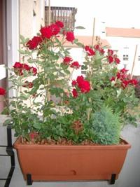 Mes rosiers